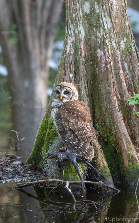 Owl, Frog, And A Cypress Tree - click to enlarge