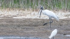 Fish Too Big Even For Wood Stork - click to enlarge