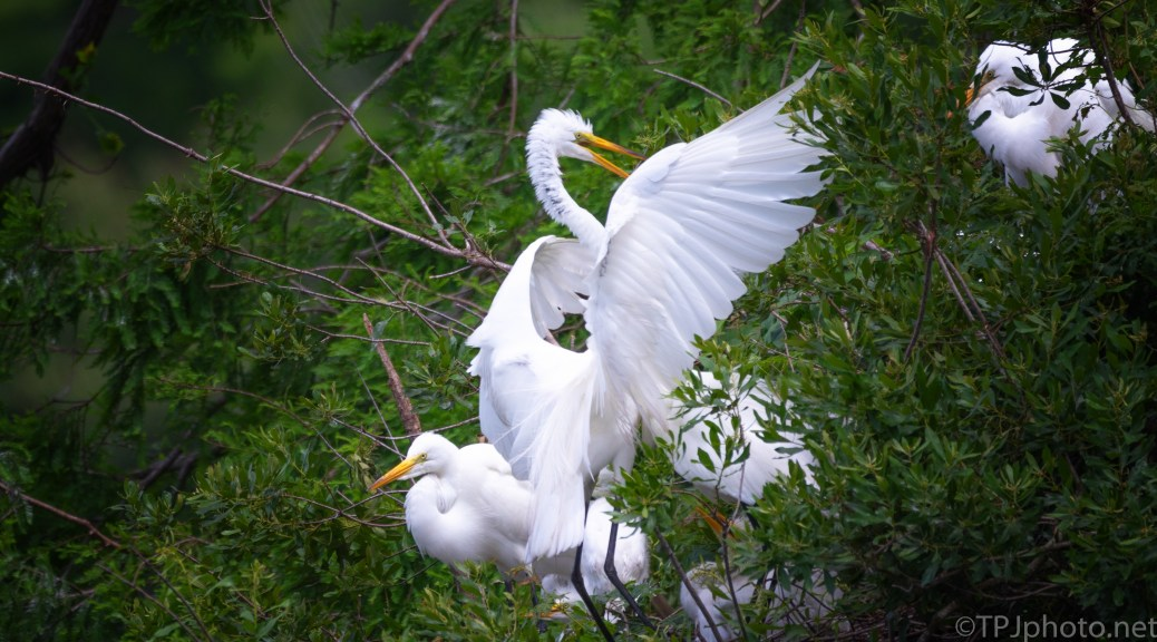 Group Of Great Egrets - click to enlarge