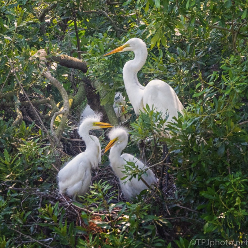 Another Family Portrait, Egrets - click to enlarge