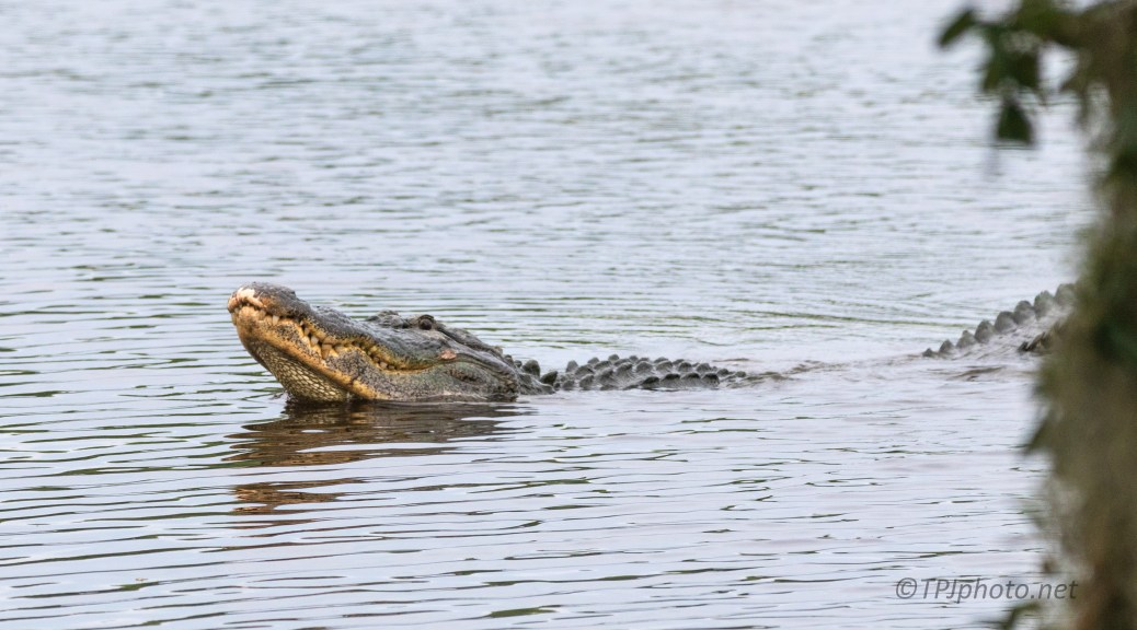 Alligator Profiling, Making A Statement (#2) - click to enlarge