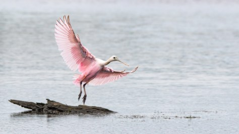 Joining A Flock, Spoonbill - click to enlarge