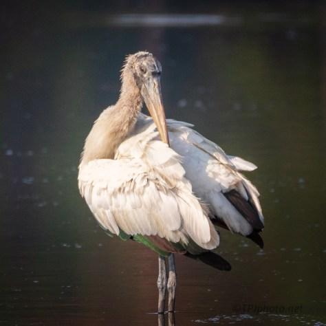 Wood Stork Portrait - click to enlarge
