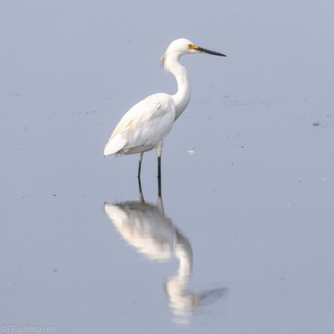 Snowy Egret, Reflection - click to enlarge