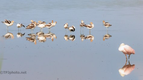 Avocets And Spoonbill - click to enlarge