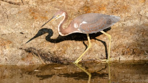 Shadow Of A Tricolored Heron - click to enlarge
