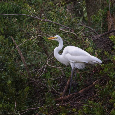 Great Egret Up High - click to enlarge
