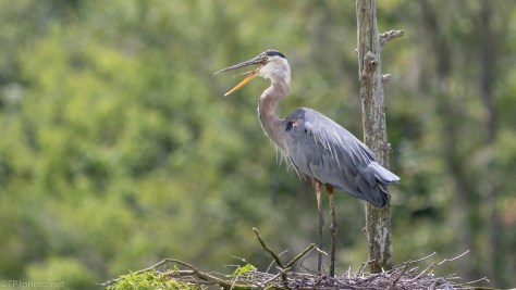 Home Coming, Great Blue Heron - click to enlarge