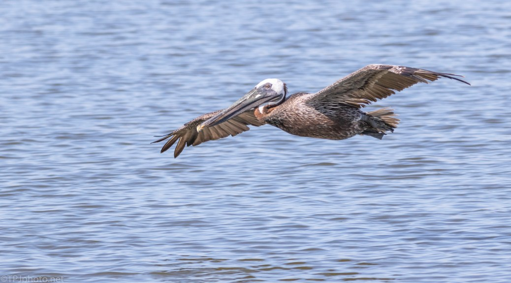 Brown Pelicans Near Shore - click to enlarge