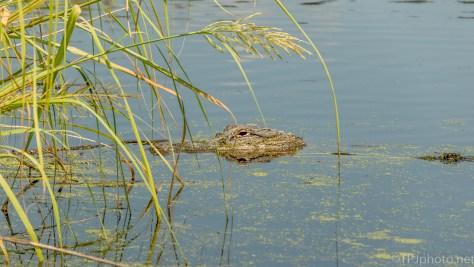 Floating, Alligator - click to enlarge