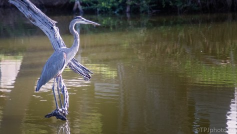 Great Blue Heron Over A Cemetery Pond - click to enlarge