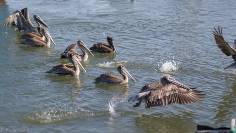 A Few Brown Pelicans - click to enlarge