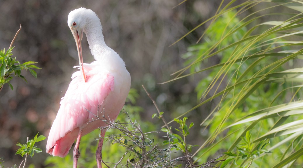 Green And Pink, Spoonbill - click to enlarge