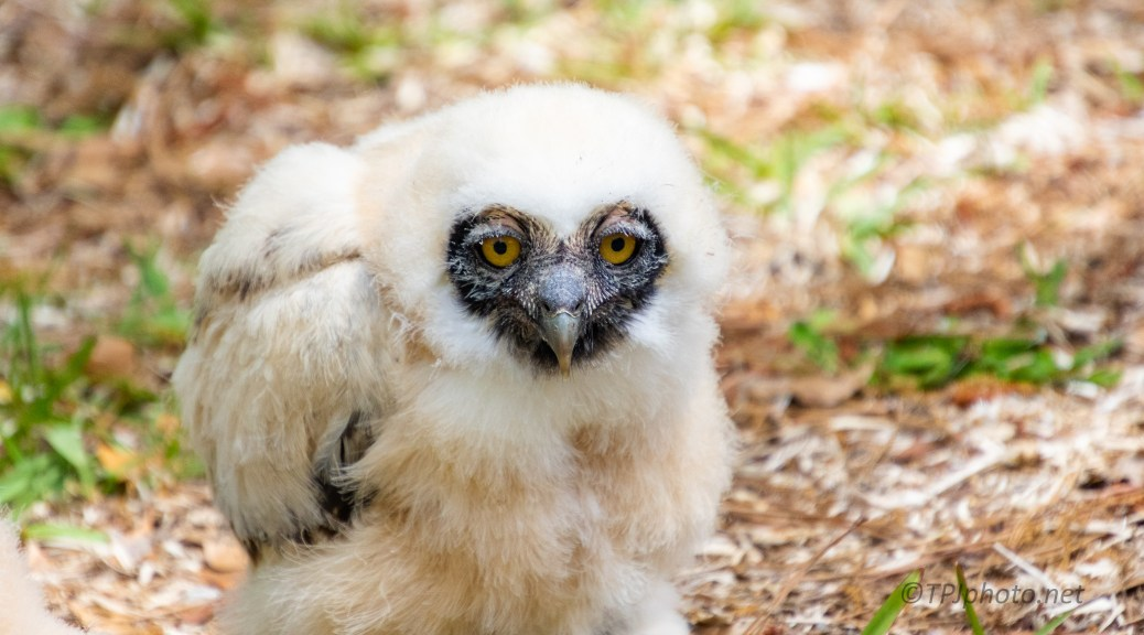 Barn Owlet - click to enlarge