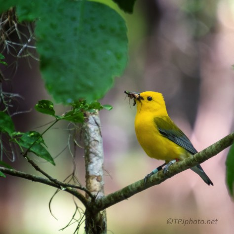 Banded Prothonotary Warbler - click to enlarge