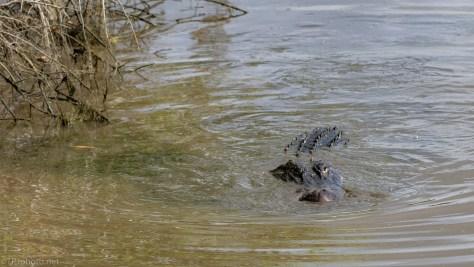 Alligator Fishing - click to enlarge
