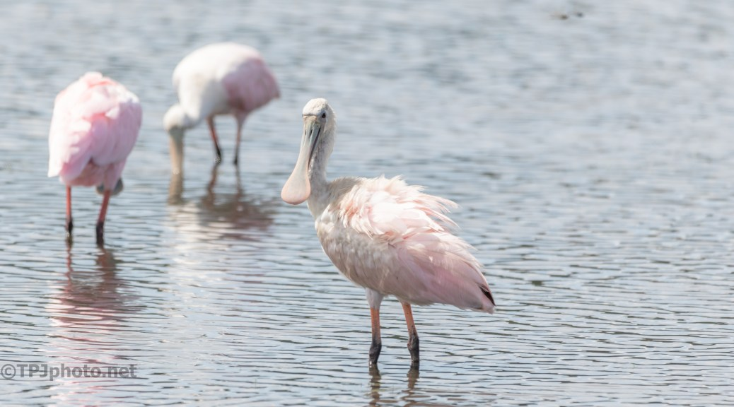 Curious Spoonbill - click to enlarge