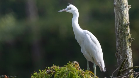 Old Nest Is Still Useful, Little Blue Heron - click to enlarge