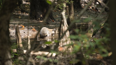 Looking Around A Swamp, Raccoon - click to enlarge