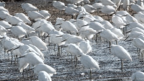 Lined Up Like Soldiers, Snowy Egrets - click to enlarge