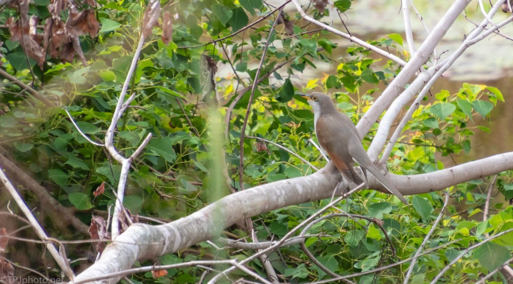 Yellow-billed Cuckoo - click to enlarge