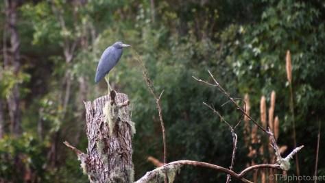 Little Blue Heron - click to enlarge