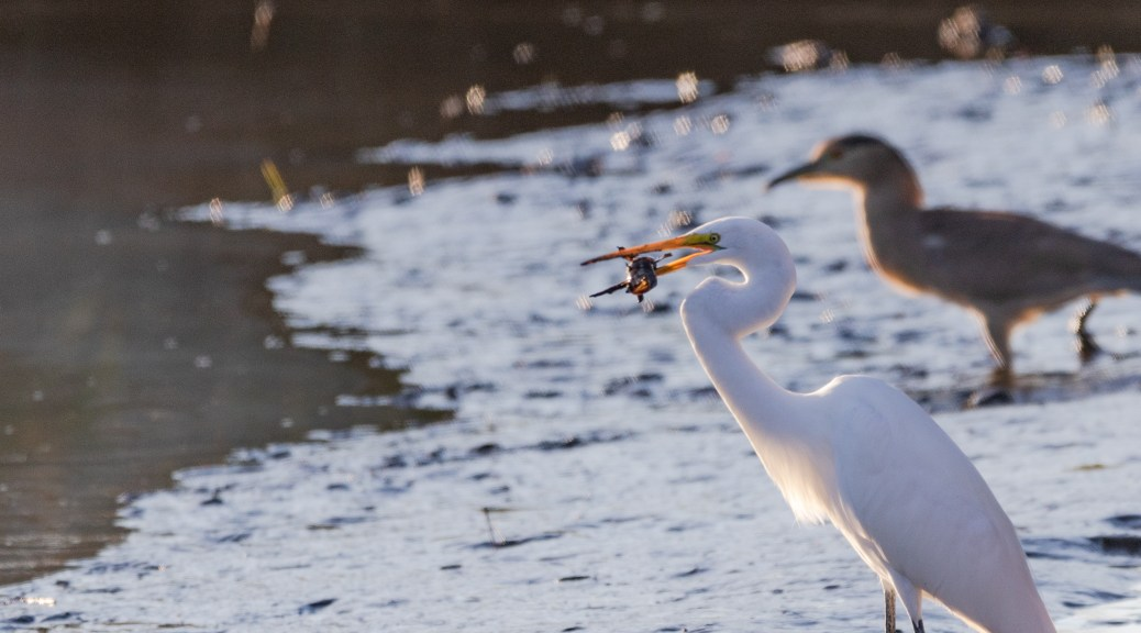 Caught A Catfish, Great Egret - click to enlarge