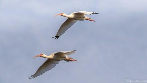 White Ibis Flocking