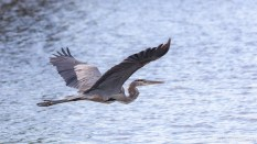 Great Blue Heron, Over A Large Pond