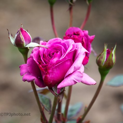 All About The Color, Rose - click to enlarge