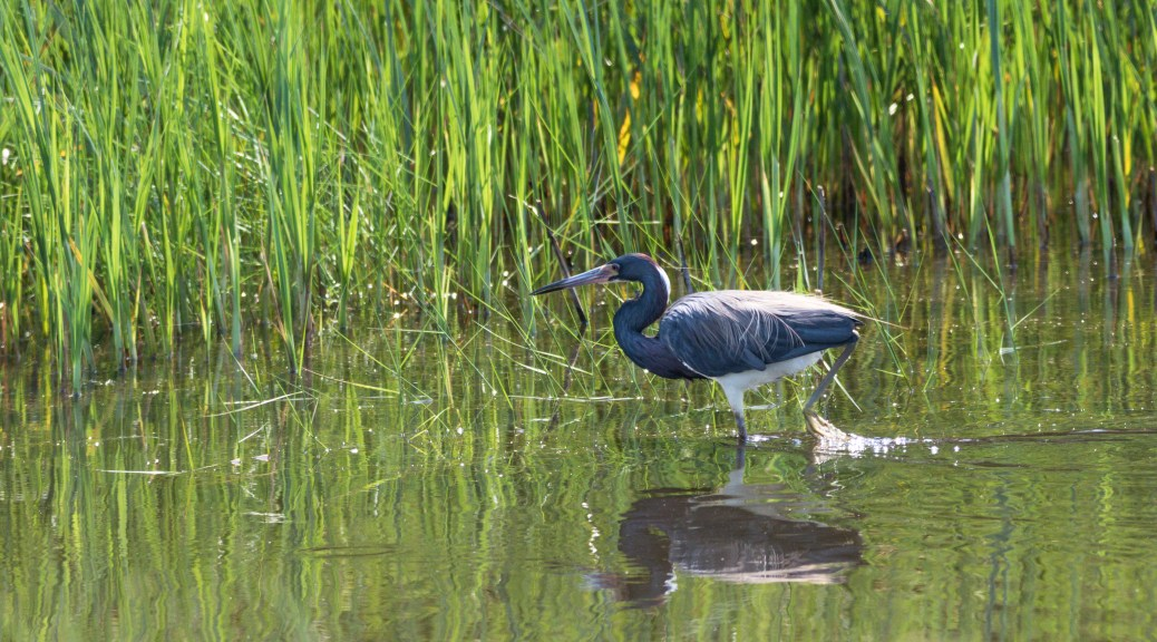 Walking The Reeds, Tricolored Heron - click to enlarge