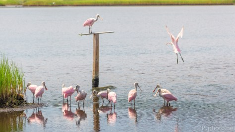 Favorite Spot For These Spoonbills - click to enlarge