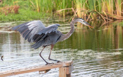 The One That Got Away, Heron - click to enlarge