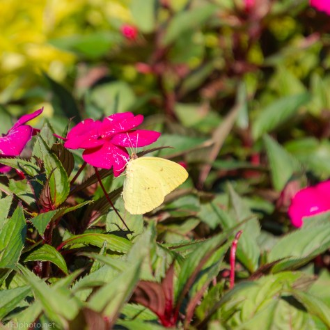 Cloudless Sulphur - click to enlarge