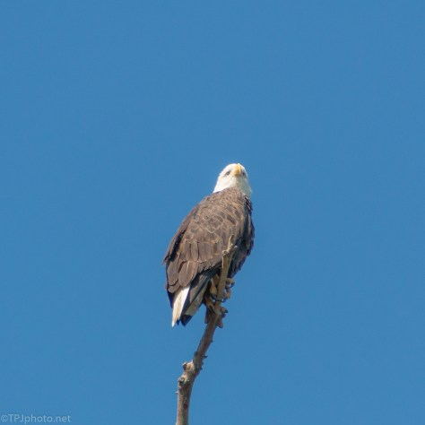 Bald Eagle Keeping Watch - click to enlarge