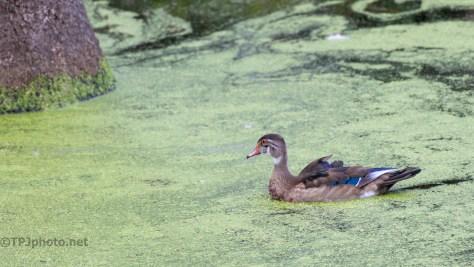 Survivor, Wood Duck - click to enlarge