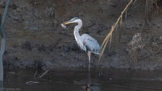 First Catch Of The Day, Great Blue Heron