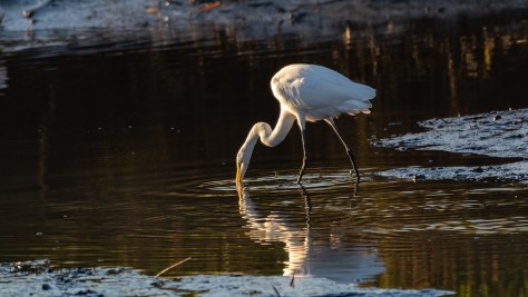 Sneaky Spoonbills And Egret