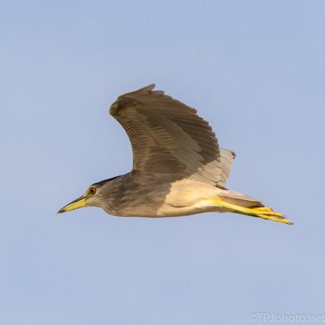 Night Heron Gliding By