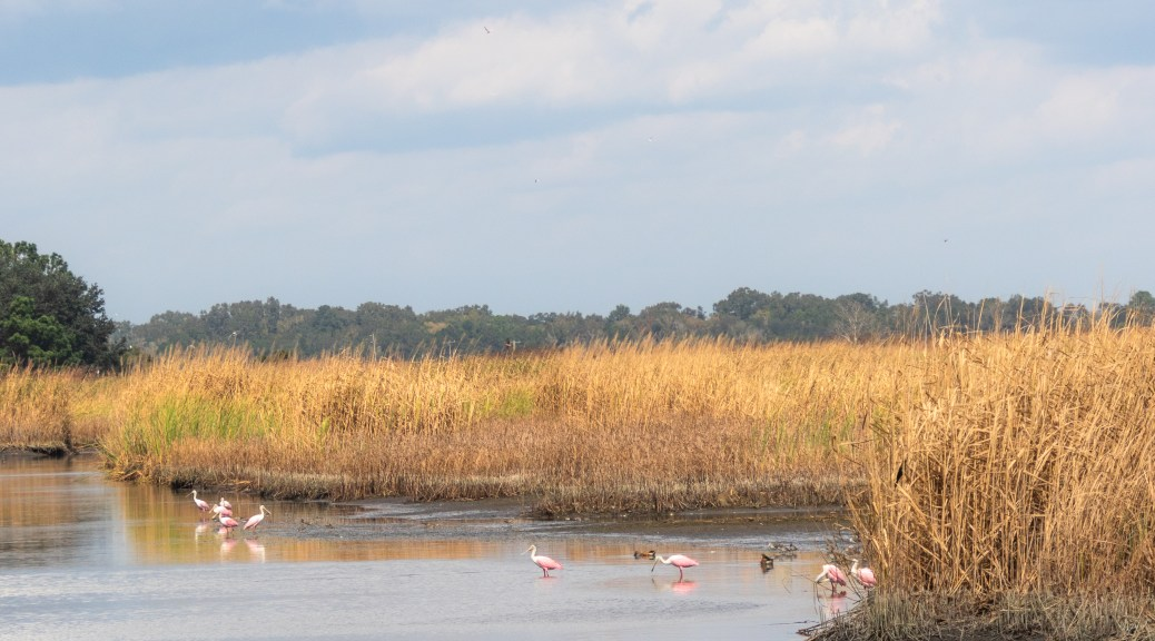 Spoonbills Gathering In A Marsh - click to enlarge