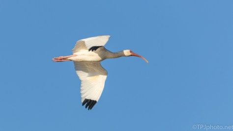White Ibis Fly By - click to enlarge