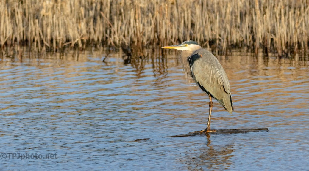 A Dry Spot, Heron - click to enlarge
