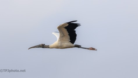 Just So Graceful, Wood Stork - click to enlarge