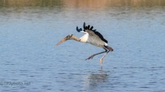 Can't Figure Out How To Stop, Wood Stork - click to enlarge
