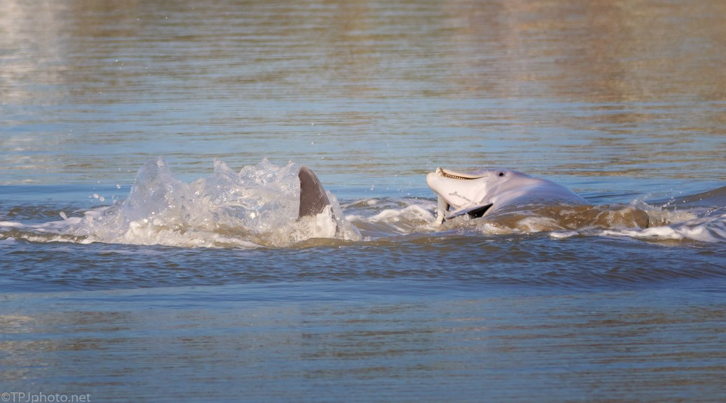 Catching A Fish Along The Shoreline, Dolphin - click to enlarge