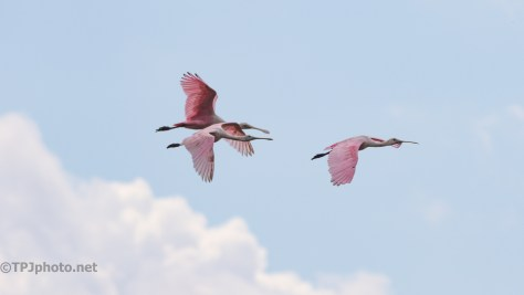 Spoonbills, Lazy Flight - click to enlarge