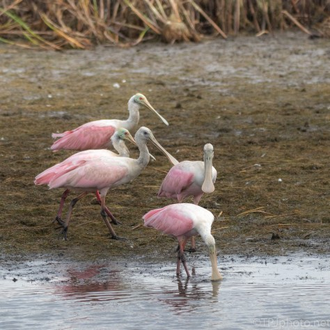 Spoonbills Moving Through A Marsh