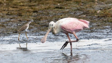 Spoonbill With Yellowlegs - click to enlarge