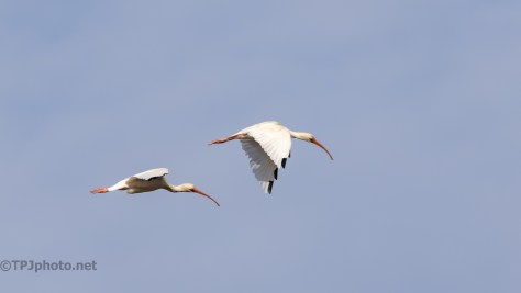 White Ibis Joining The Flock - click to enlarge