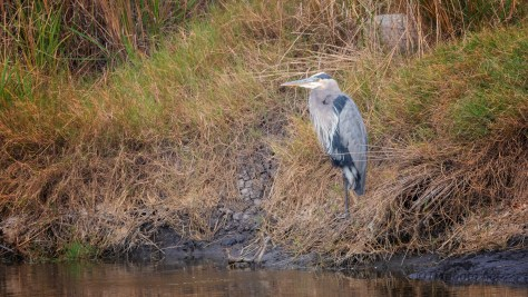 Great Blue On A Berm - click to enlarge